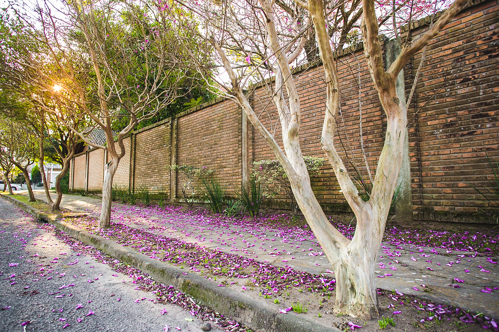Trees with light-colored trunks, open branches and purple flowers appear in a row in a sidewalk, on the edge of a street. In the back is a brick wall and the sun, shining through the branches of the more distant trees. The sidewalk is covered in petals that have fallen from the trees.