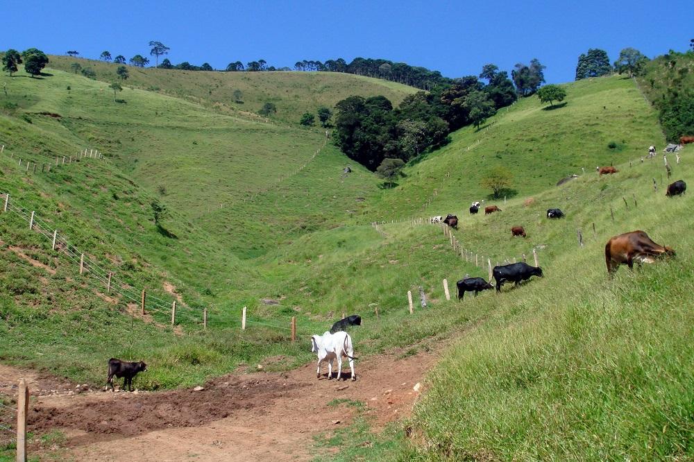Bueyes blancos, negros y marrones, pastan en un valle verde claro, con algunos árboles dispersos. Al fondo, el cielo azul sin ninguna nube.