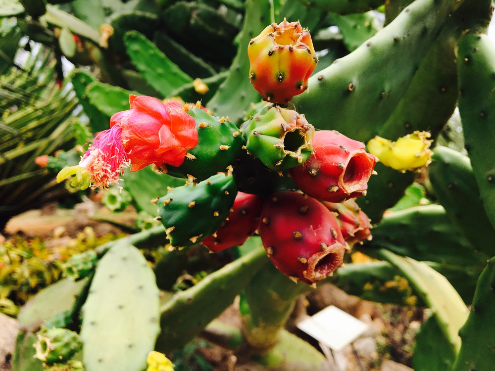 Close-up of a cactus with half-open pink buds facing the camera.