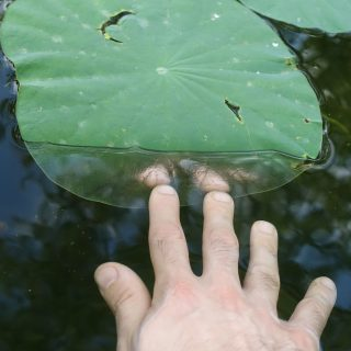 A white person's right hand reaches towards a round leaf floating on water. The part of the plant being touched by the hand is underwater, and the water in this part creates a reflection of the fingertips.