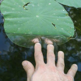 A mão direita de uma pessoa de pele branca se estende na direção de uma folha redonda flutuante sobre a água. A parte da planta em que os dedos tocam está submersa, e a água dessa área gera um reflexo das pontas desses dedos.