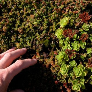 In the lower left corner of the photo, the hand of a white middle-aged person, with a plain, thick silver ring on their ring finger, is touching a surface covered with very small mossy plants with tones that vary from green to dark red. From the center of the photo to the right margin are some small plants with blossoming leaves. These blossoms have a lighter green hue.