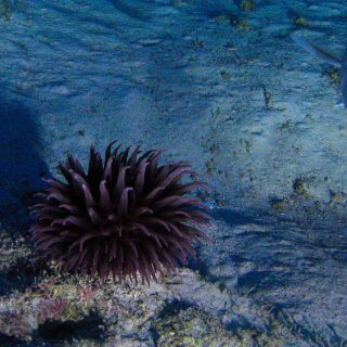 In the center of the photo is a purple anemone on the ocean floor. A gray colored grouper swims towards the camera on the right side of the photo. The floor is sandy and has a blue tone from the shade.