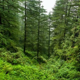 A imagem mostra, em um plano aberto, uma floresta com dezenas de árvores altas e muito verdes, e uma área de gramíneas ao meio, em primeiro plano.