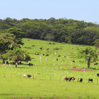 Plan abierto de un pasto muy verde, con árboles alrededor, donde varios bueyes de colores blancos y negros están pastando.
