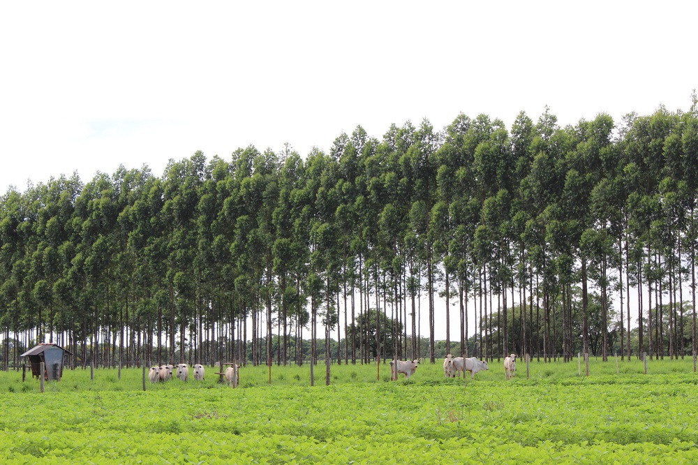 A view of a herd of 10 white oxen from across a field. They are standing in the middle of a cluster of eucalyptus trees. In the left corner of the photo is a small wooden hut, open on both sides.