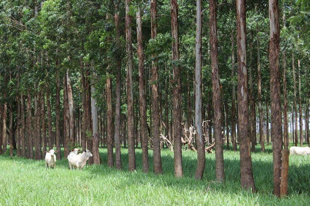 There are several rows of trees with long, thin trunks in a pasture with green grass. Three white oxen walking through the trees.