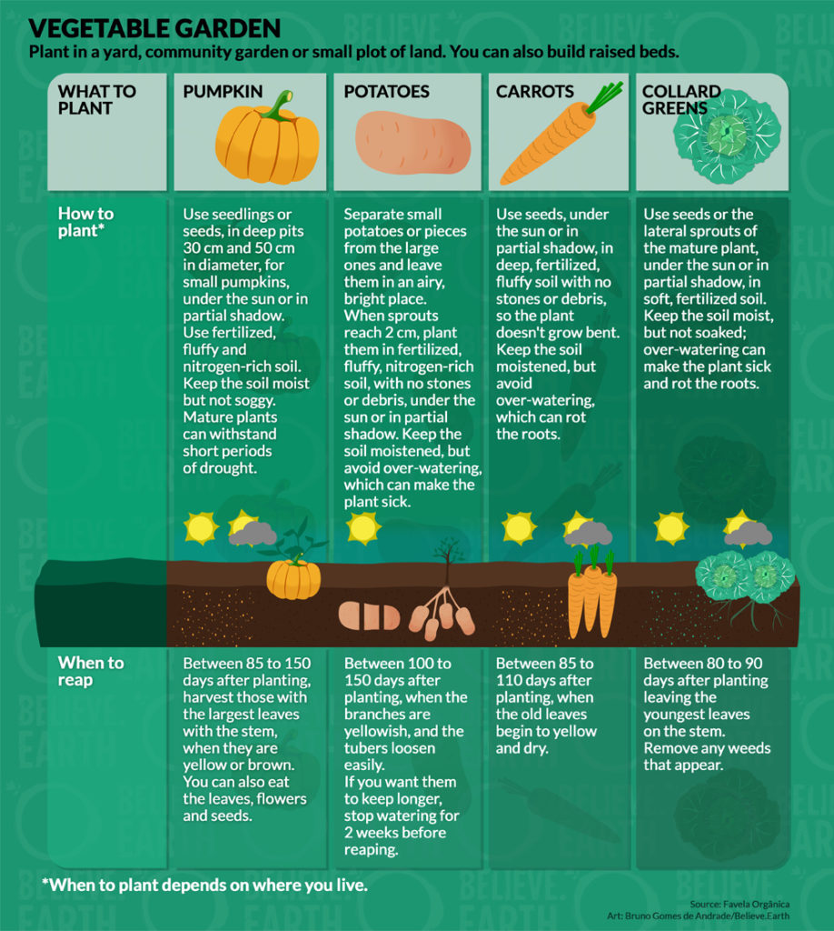 """Ilustration: """"Vegetable Garden – Plant in a yard, community garden or small plot of land. You can also build raised beds"""". 1. Pumpkin: Use seedlings or seeds, in deep pits 30 cm and 50 cm in diameter, for small pumpkins, under the sun or in partial shadow. Use fertilized, fluffy and nitrogen-rich soil. Keep the soil moist but not soggy. Mature plants can withstand short periods of drought. Reap it between 85 to 100 days after planting, harvest those with the largest leaves with the stem, when they are yellow or brown. You can also eat the leaves, flowers and seeds. ; 2. Potatoes: Separate small potatoes or pieces from the large ones and leave them in an airy, bright place. When sprouts reach 2 cm, plant them in fertilized, fluffy, nitrogen-rich soil, with no stones or debris, under the sun or in partial shadow. Keep the soil moistened, but avoid over-watering, which can make the plant sick. Reap it between 100 to 150 days after planting, when the branches are yellowish and the tubers loosen easily. If you want them to keep longer, stop watering for 2 weeks before reaping. ; 3. Carrots: Use seeds, under the sun or in partial shadow, in deep, fertilized, fluffy soil with no stones or debris to plant it, so the plant doesn't grow bent. Keep the soil moistened, but avoid over-watering, wich can rot the roots. Reap it between 85 to 110 days after planting, when the old leaves begin to yellow and dry. ; 4, Collard Greens: Use seeds or the lateral sprouts of the mature plant, under the sun or in partial shadow, in soft, fertilized soil, to plant it. Keep the soil moist, but not soaked; over-watering can make the plant sick and rot the roots. Reap it between 80 to 90 days after planting leaving the youngest leaves on the stem. Remove any weeds that appear. *When to plant depends on where you live. Source: Favela Orgânica. Art: Bruno Gomes de Andrade, Believe.Earth."""
