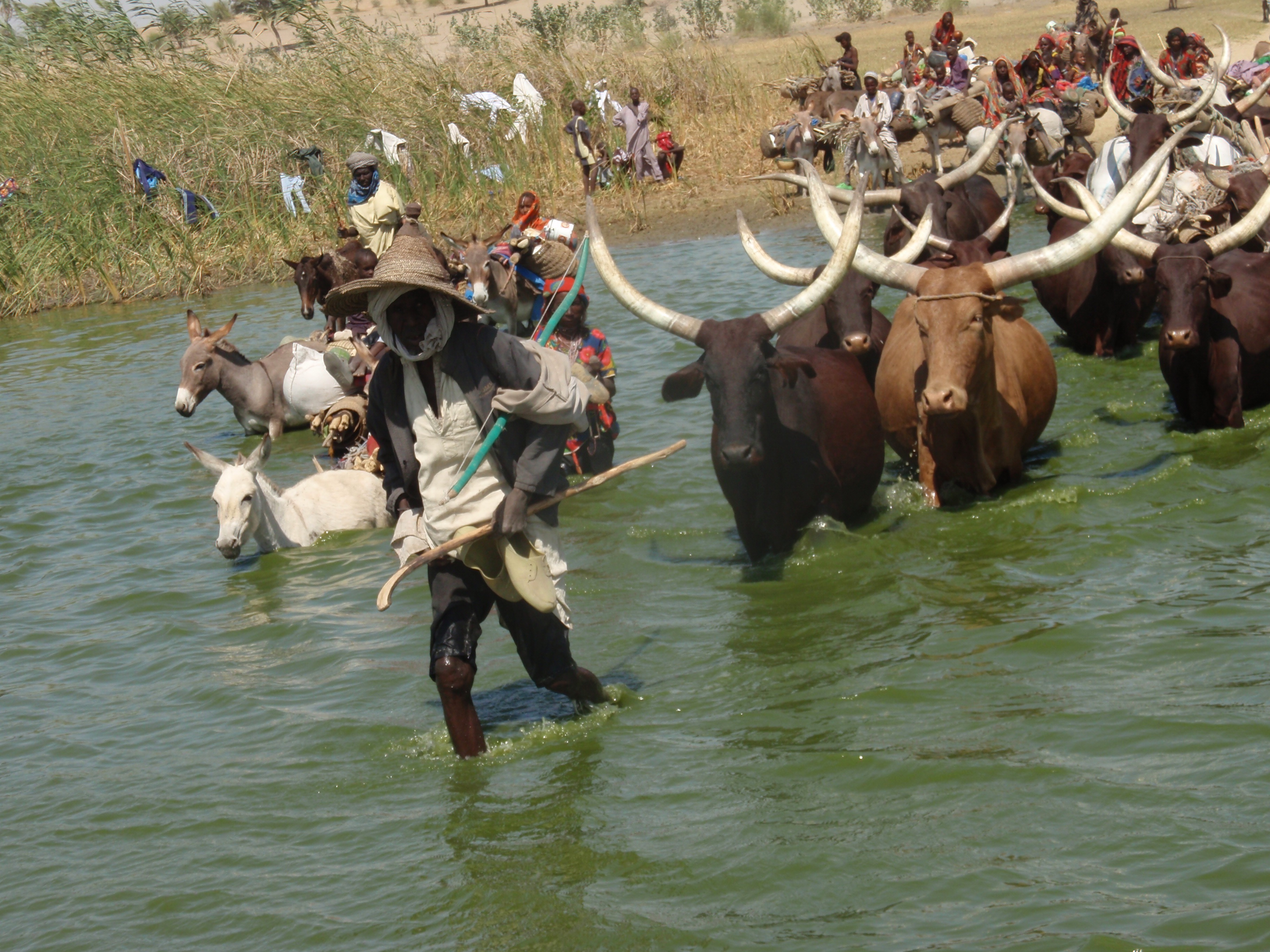 A black man in a gray outfit, holding a cane and wearing a broad-brimmed hat, is leading a herd of oxen crossing a stream. In the background are people following him, some in the water and some on the shore.