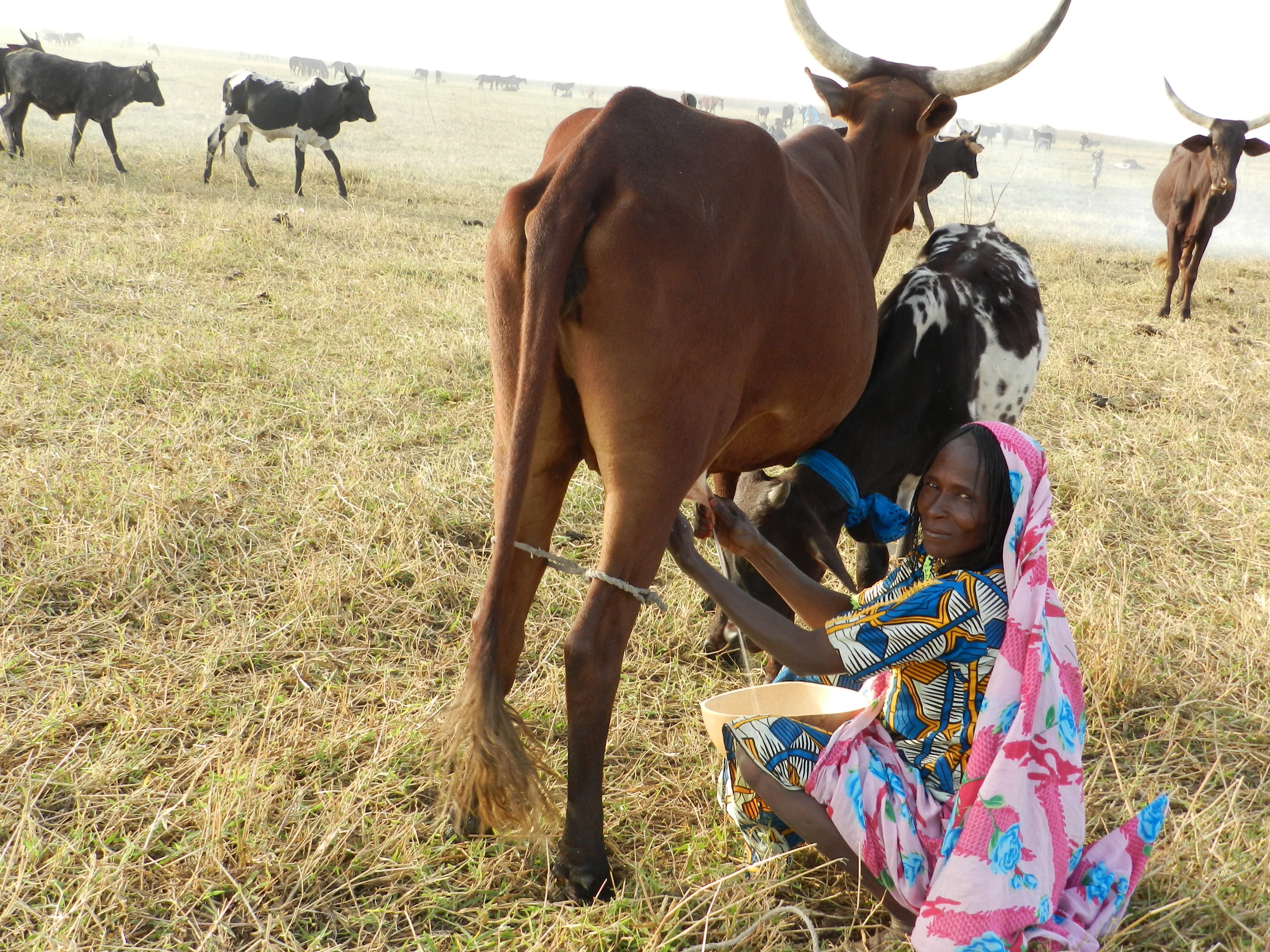 A black woman wearing a blue and gold patterned dress is wrapped in a colorful (pink, blue, white and yellow) blanket. She is milking a cow and looking at the camera. Beside the cow, a calf is grazing. Behind them are three more oxen.