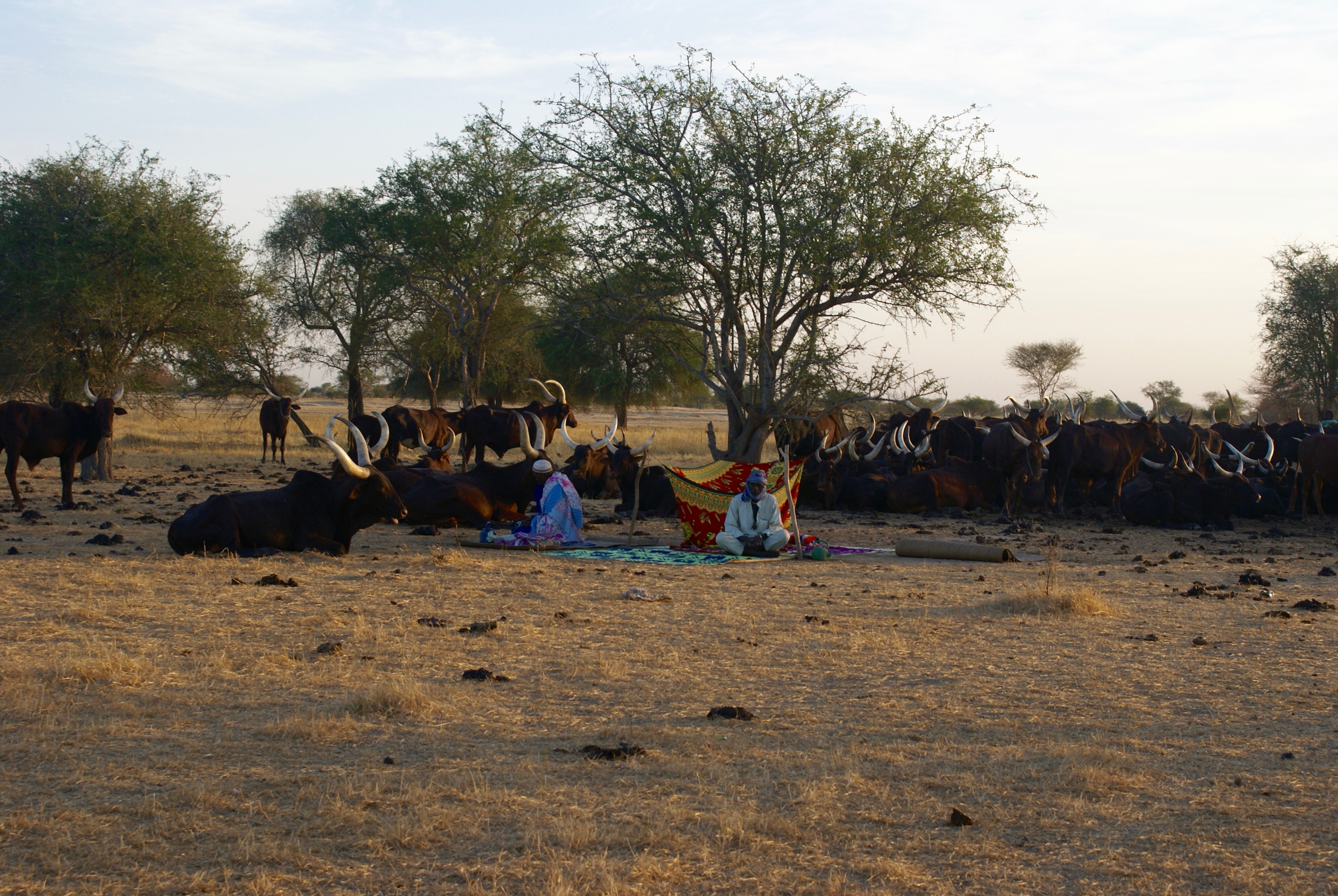 In an arid region with few trees, a herd of oxen is lying down, resting. In front of the animals, two men sit on colorful blankets.