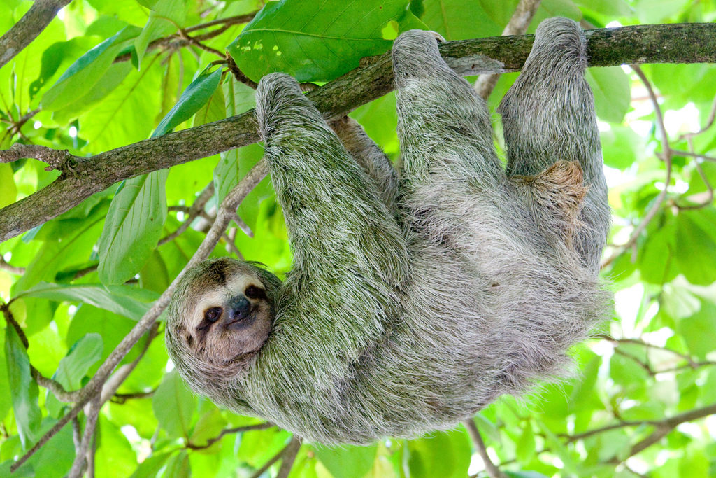 A sloth with light-gray fur hangs from a tree branch from all four limbs while looking calmly at the camera. The background is filled with green foliage.