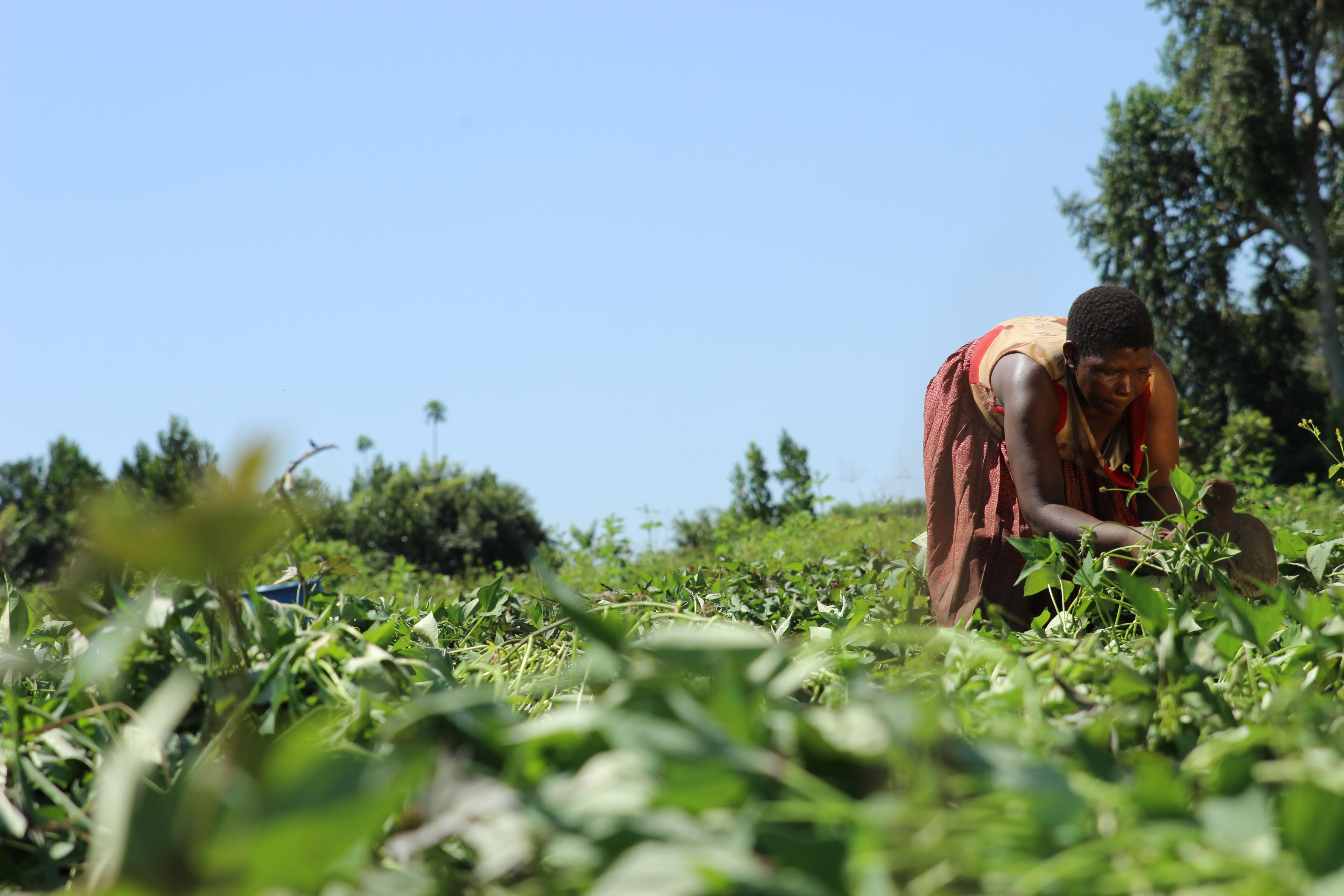 Em um campo verde, sob céu azul sem nuvens, uma mulher negra vestindo saia e camisa de cores vermelha e laranja, está agachada colhendo plantas.