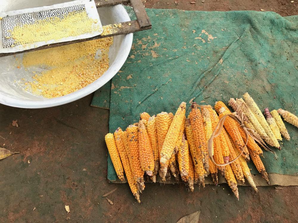Foto tirada de cima onde aparecem várias espigas de milho em cima de um pano verde; ao lado, uma bacia com um ralador apoiado, onde aparece um pouco do milho já moído.