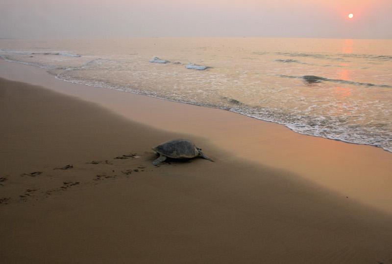 Una tortuga marrón, grande, camina sobre la arena oscura de una playa, en dirección al mar, que ocupa el lateral derecho de la foto. Por encima del mar aparece el sol, bien pequeño, anaranjado, y el cielo sin nubes, grisáceo.