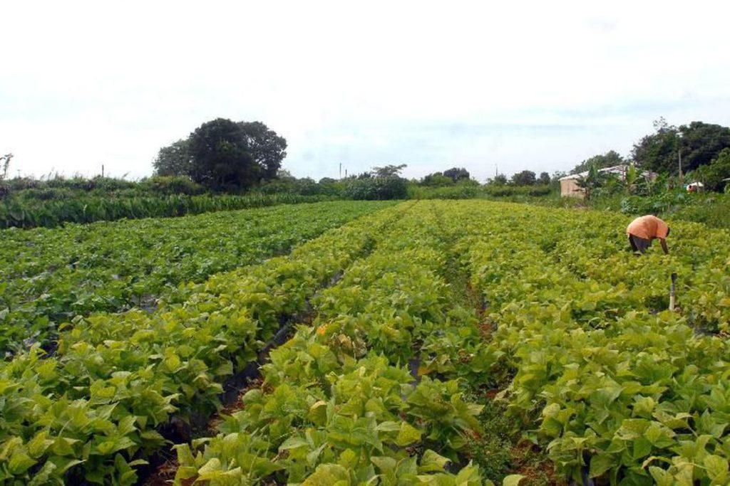 La imagen muestra una plantación de hortalizas con muchas hojas, de color verde claro. Están dispuestas en filas. A la derecha, en el centro de la imagen, hay un hombre con blusa naranja y pantalón gris agachado trabajando con las hojas. El cielo está nublado y hay unos pocos árboles alrededor.