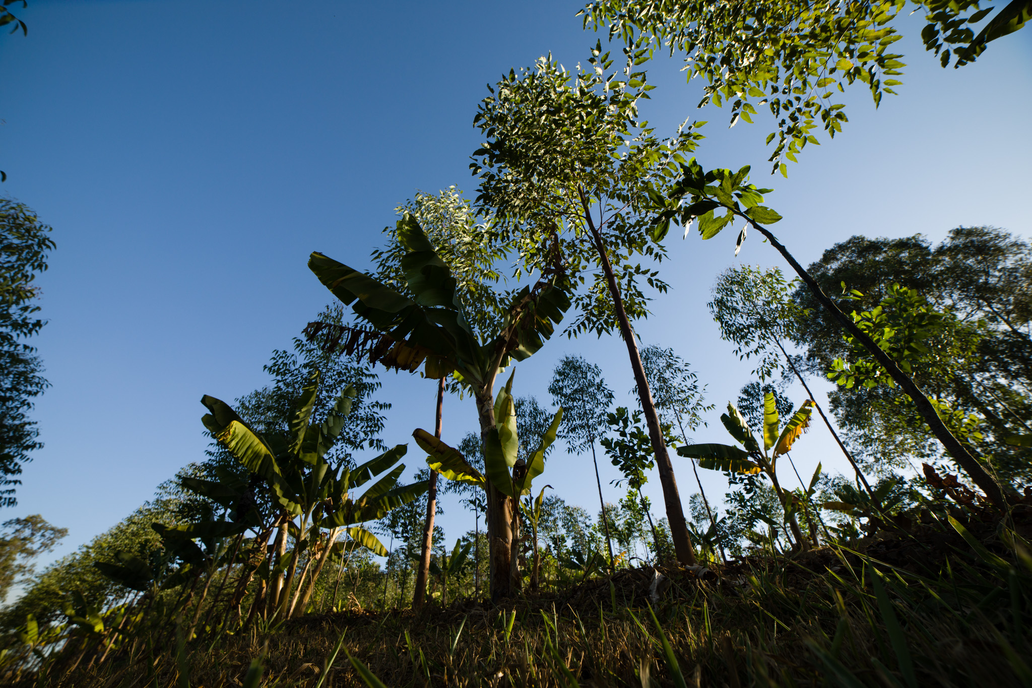 Viewed from below, a row of thin trunk trees. At the base of these trees, some smaller plants are growing. In the background are some other scattered trees. The sky is blue and cloudless.