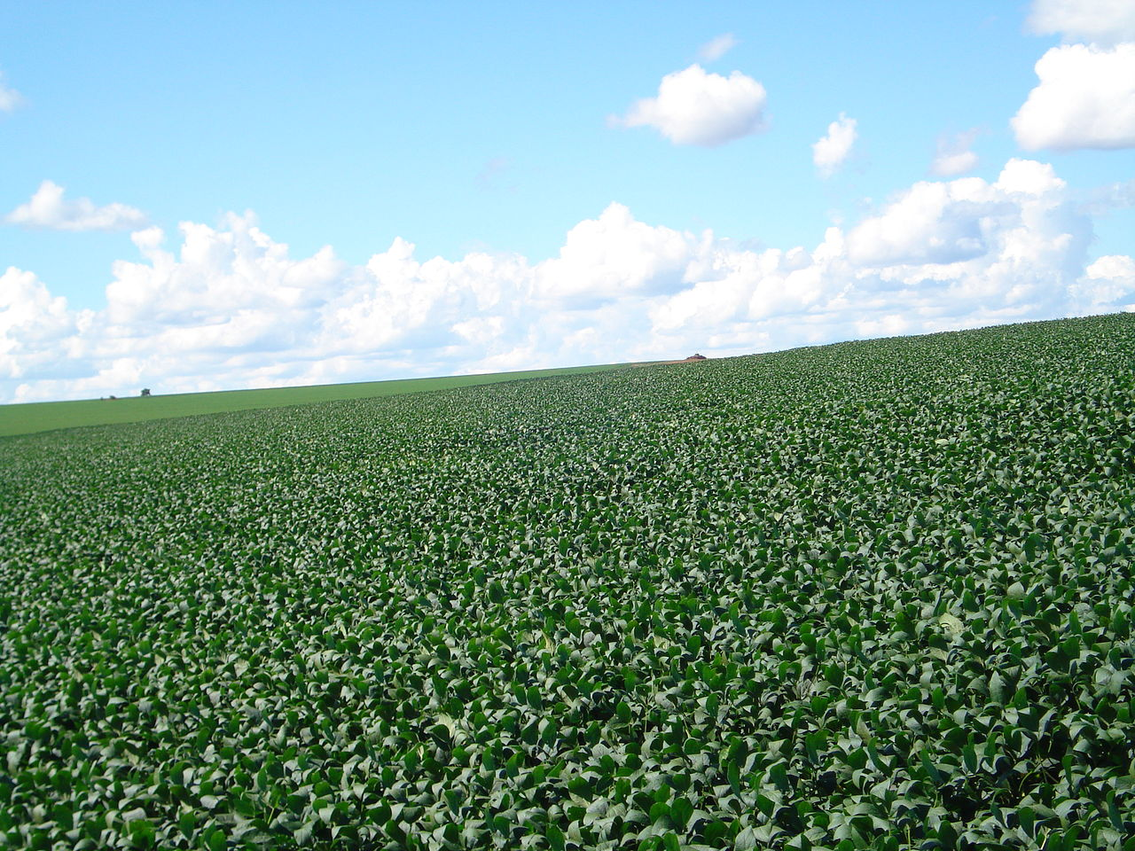 A soybean plantation with dark green leaves as far as the eye can see. The sky is blue with some clouds.