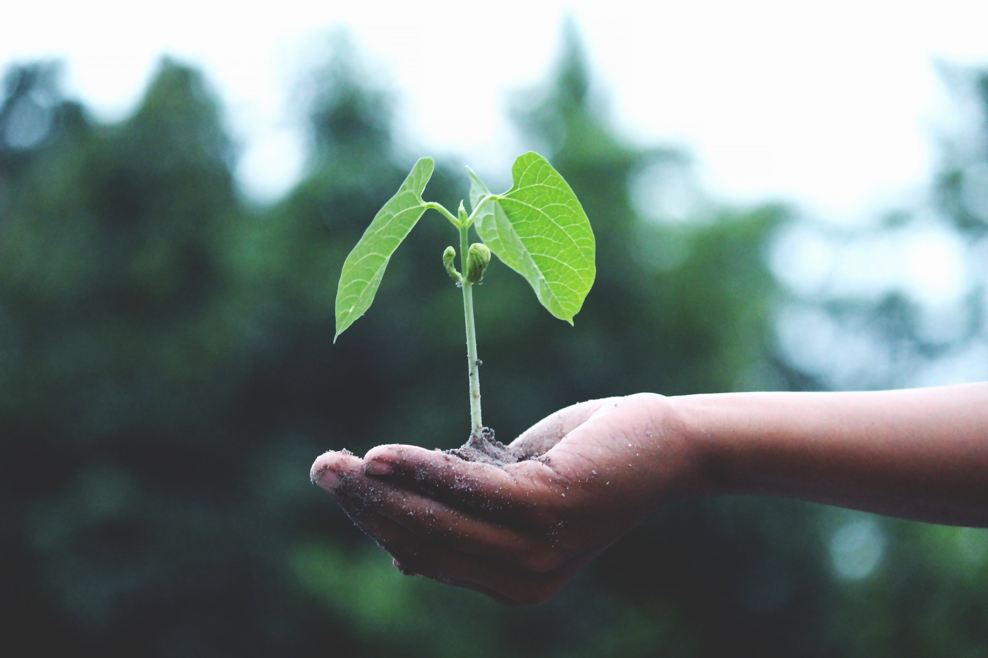 Close-up of a hand holding a small seedling, with two green leaves and two small shoots, with some earth on its roots. In the background are green leaves, out of focus.